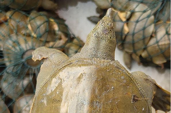 南宁甲鱼现捞现发,怎么鉴别甲鱼的好坏?
